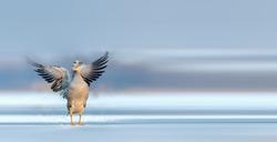 Bar-headed goose relaxing in the wetlands