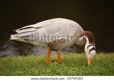 Bar-headed goose, side view, gracefully leaning neck down