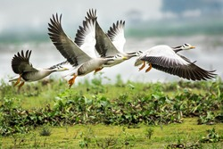 Bar-headed goose taking off. The bar-headed goose (Anser indicus) is a goose that breeds in Central Asia in colonies of thousands near mountain lakes and winters in South Asia.