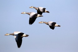 Bar-headed goose:The bar-headed goose (Anser indicus) is a goose that breeds in Central Asia in colonies of thousands near mountain lakes and winters in South Asia, as far south as peninsular India. I