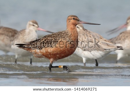 Bar Tailed Godwit in Australasia #1414069271