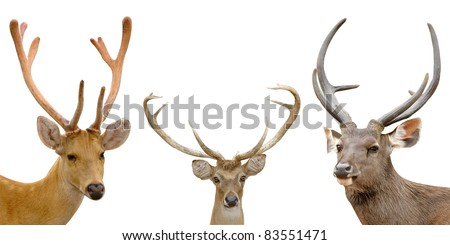 barasingha, eld deer, sambar deer, isolated on white background
