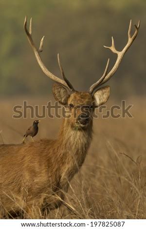 Barasingha, Swamp deer, Rucervus duvaucelii, Endangered, Kanha National Park, Madhya Pradesh, India, Asia #197825087