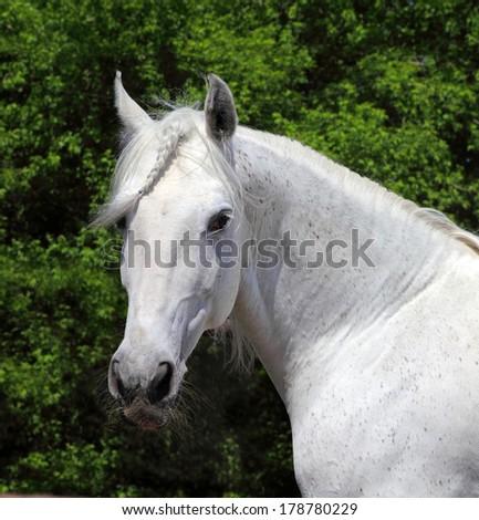 Barb horse - portrait