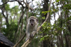 Barbados Green Monkey in the wild playing on a vine