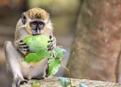 Barbados Green Monkey on the West Coast