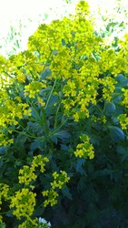 Barbarea vulgaris background. Beautiful yellow color flowers. Vertical view. Bittercress or herb barbara, rocketcress. Brassicaceae family. Summer and spring.