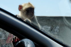 Barbarian macaque sitting on a car, front window, on top of the Rock of Gibraltar