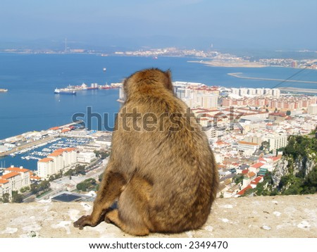 Barbary ape admiring the town of Gibraltar.