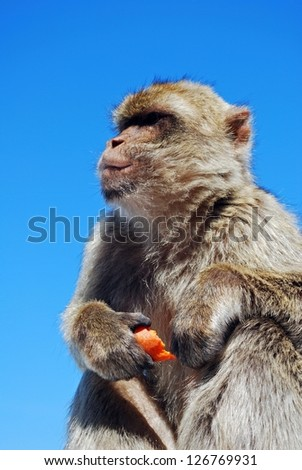 Barbary Ape (Macaca Sylvanus) eating a piece of carrot, Gibraltar, UK.