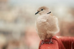 Barbary Dove or Eurasian-collared Dove sits at indian ghetto backdrop. Jaipur, India