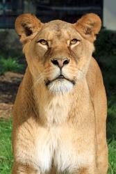 Barbary lion (Panthera leo leo); lioness portrait