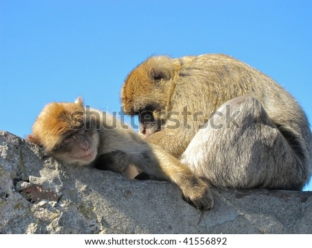 Barbary Macaque (ape)  and baby in Gibraltar