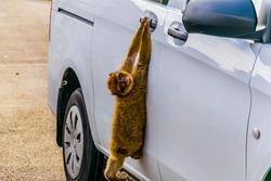 Barbary macaque climbing into a car on the upper rock in gibraltar.