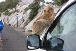Barbary macaque (Macaca sylvanus) Gibraltar  (UK)