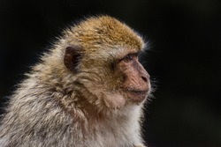 Barbary Macaque, Macaca sylvanus. Monkeys from the forests in the Atlas mountains, Morocco, Africa. Monkeys fed by the tourists