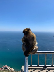 Barbary Macaque Monkey at the top of the Rock of Gibraltar. August 29th 2020