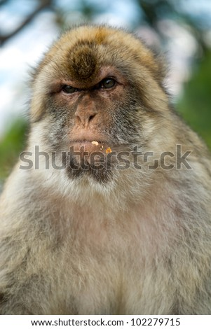 Angry baboon face - photo#27