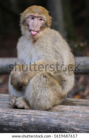Barbary macaque monkey, sitting on a wodden stick at Affenberg Salem, sticking out tongue