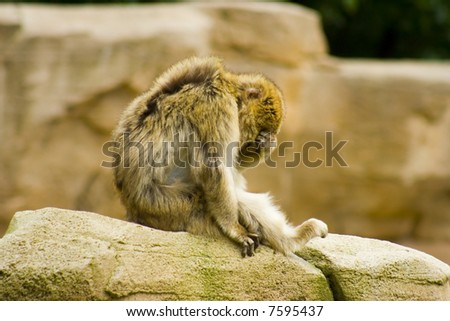 barbary macaque sitting on rock covering his eyes