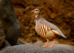 Barbary Partridge - Alectoris barbara is gamebird in the pheasant family (Phasianidae) of the order Galliformes. It is native to North Africa. Living also on the Canary Islands.