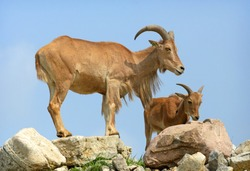 Barbary Sheep on rock cliff