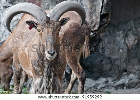 Barbary sheep, taken on a sunny afternoon, useful for various wild animal concepts design and print outs. - stock photo