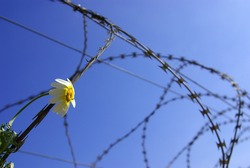 Barbed wire with a stuck single flower against blue sky.