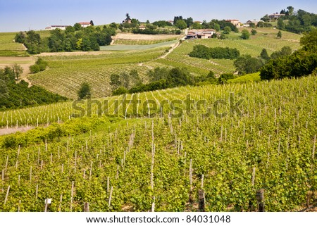 Barbera vineyard during spring season, Monferrato area, Piedmont region, Italy