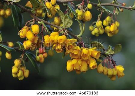 Barberry - Berberis vulgaris
