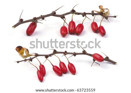 Barberry (Berberis vulgaris) branch with ripe berries. Isolated on a white background.