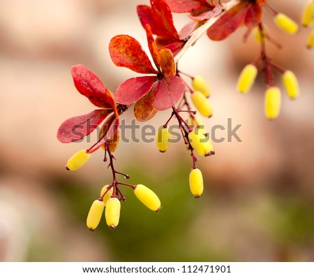 Barberry branch with berries