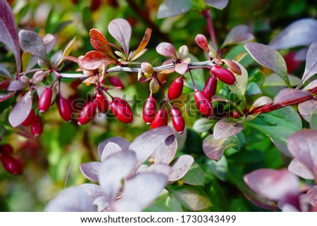 Barberry branch  with red berries (Berberis vulgaris). Branch of autumn barberry bush with red leaves and berries Stock photo ©