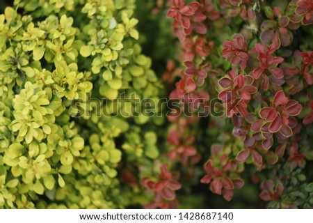 Barberry bushes in different colors in the garden. Barberry bushes background image. Fusion of different barberry bushes. Barberry bushes close-up. #1428687140