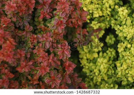 Barberry bushes in different colors in the garden. Barberry bushes background image. Fusion of different barberry bushes. Barberry bushes close-up. #1428687332
