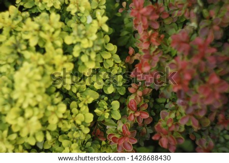 Barberry bushes in different colors in the garden. Barberry bushes background image. Fusion of different barberry bushes. Barberry bushes close-up. #1428688430