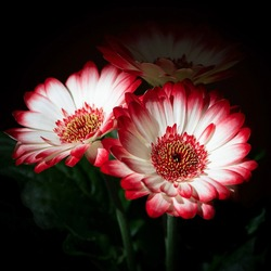 Barberton daisy: a species of Transvaal daisies, also known as African and Gerbera Daisy, its botanical name is Gerbera jamesonii.