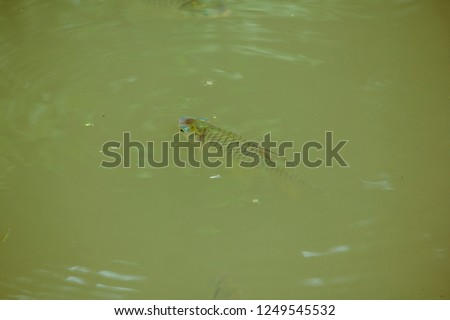 Barbonymus gonionotus  in water. stock photo