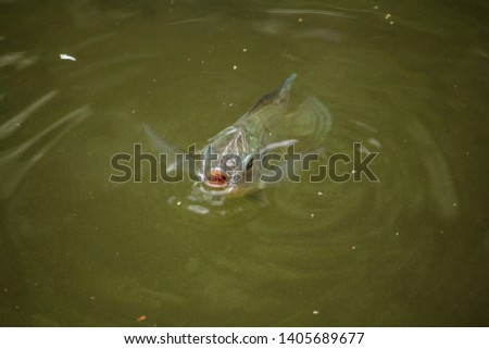 Barbonymus gonionotus is at the water surface To breathe the air stock photo