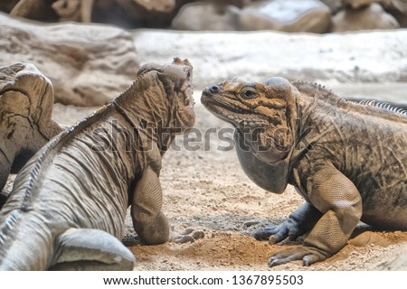 Barcelona, Spain. Rhinoceros Iguana. The name of this species is due to the three large scales on the snout, which bring to mind a rhinoceros's horns. It is predominantly vegetarian