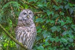 BARD OWL PERCHED IN TREE IN PIONEER PARK ON MERCER ISLAND WASHINGTON