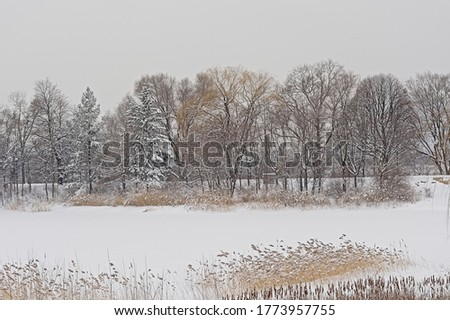 Bare and coniferous trees and reed in the snow in Jean Drapeau park in Montreal.