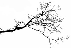 Bare black branch against a white background.
