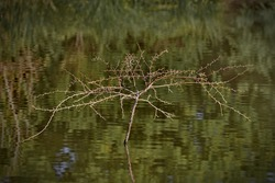 Bare branches displaying long thorns of small tree with roots submerged in sunlit, Impressionistic reflections of water at Gilbert Riparian Preserve in Arizona