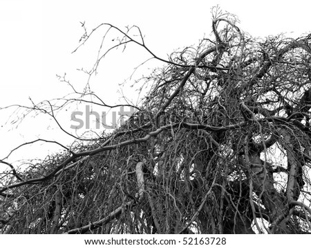 Bare Branches isolated on white background - black & white