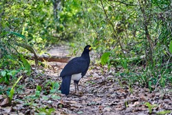 bare faced curassow, Crax fasciolata, a large bird with small crest from the family Cracidae, chachalacas, guans. Found in Brazil, Paraguay, and Bolivia. Panatanal, Mato Grosso, South America