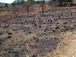 BARE GROUND WITH BURNT STUBBLE OF CLUMPS OF GRASS IN SOUTH AFRICAN LANDSCAPE