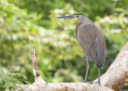 Bare-throated Tiger-heron perched on a tree branch.