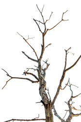 Bare Tree Against White Background, Dead Tree isolated on white