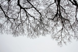 Bare Tree Branches on a white pale sky.